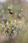 Ophrys incubacea 20-04-19 50